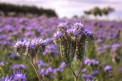 Close-up of phacelia on a field Royalty Free Stock Photo