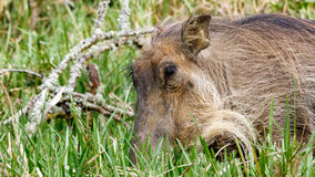 Close Up of Phacochoerus africanus The Common warthog. Phacochoerus africanus - The common warthog is a wild member of the pig family found in grassland, savanna stock photography