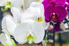 Close up Phalaenopsis Blume orchid  color background. The generic name from Greek means φαλαινα `Phalaen[a]-like` and is probably a reference to the genus Royalty Free Stock Photos