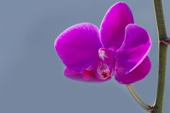 Close up Phalaenopsis Blume orchid isolated color background. The generic name from Greek means φαλαινα `Phalaen[a]-like` and is probably a reference to Royalty Free Stock Photos