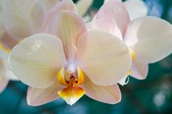 Close-up Phalaenopsis Orchid Stock Photography