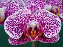 Close-up Phalaenopsis Orchid Stock Image