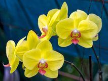 Close-up Phalaenopsis Orchid Royalty Free Stock Photo