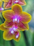 Close-up Phalaenopsis Orchid Royalty Free Stock Images
