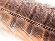 Close up of pheasant feather detail and colour on white backgrou Stock Images