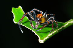 Close up of Phidippus regius jumping spide Stock Photos