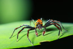 Close up of Phidippus regius jumping spide Royalty Free Stock Photos