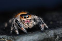 Close up of Phidippus regius jumping spider Royalty Free Stock Photo