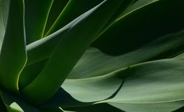 Close-up photo of an agave plant, abstract qualities of the image with interconnected lines and shades. royalty free stock photo