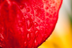 Close up photo of Anthurium flowers Stock Photography