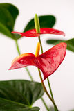 Close up photo of Anthurium flowers. With details and water drops Royalty Free Stock Images