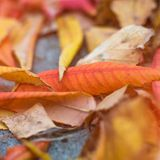 Close-up photo of autumn leaves. Close-up photo of colorful autumn leaves Royalty Free Stock Photo
