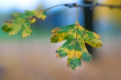 Close-up photo of autumn leaves. Close-up photo of colorful autumn leaves Stock Photography
