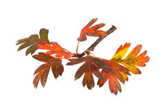 Close up photo of autumn leaves. On a white background Royalty Free Stock Photo