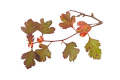 Close up photo of autumn leaves on a white background Stock Photo