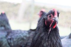 Close-up Photo of Ayam Cemani Chicken Stock Image