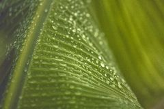 Close Up Photo of Banana Leaf Stock Image