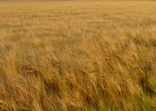 Close up of a barley field Royalty Free Stock Photo