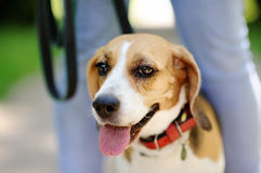 Close up photo of Beagle dog in the summer park Stock Photos