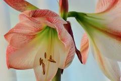 A close-up photo of a beautiful amaryllis flower hippeastrum. stock image