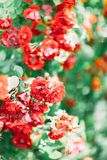 Close-up photo of the beautiful bushes with red roses. Stock Images