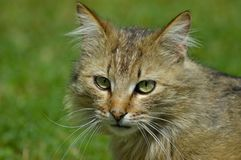 Close-up photo - a beautiful cat in the garden. Photo made in Hungary at home Royalty Free Stock Photos