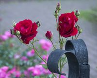 Red Roses in a Garden royalty free stock photos