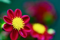 A close-up photo of a beautiful garden dahlia flower. royalty free stock photos