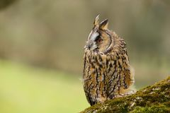 Long Eared Owl Asio otus UK royalty free stock photography