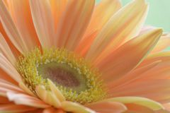 Close-up photo of a beautiful peach-colour gerbera daisy; soft light and colours; sharp details of the center of the flower royalty free stock image
