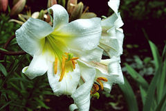 Close up photo of beautiful white lily flower. Close-up photo of beautiful white lily flower Royalty Free Stock Image