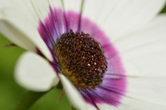 A close-up photo of a beautiful white osteospermum flower, with sharp details of the purple flower center. stock photo