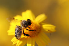 Close up photo of bee. In yellow daisy Stock Photography