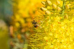 Close-up photo of a bee. The honeybee collects the pollen close-up. Photo of a bee sitting on a yellow flower. The bee pollinates stock photography