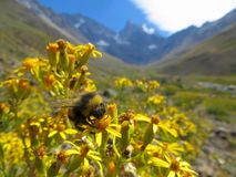 Close up photo of a bumble bee with mountains behind it Stock Images