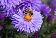 Close Up Photo of Bee on Top of Purple Flower Stock Photography