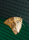 Close up photo of big brown butterfly stand Stock Photos