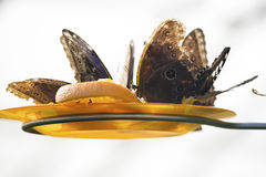 Close up photo of big butterflys Stock Image