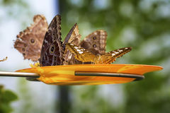 Close up photo of big butterflys Royalty Free Stock Images