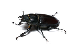 Close-up photo of big female stag-beetle Royalty Free Stock Images