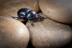 Close-up photo of big female stag-beetle Royalty Free Stock Photography
