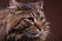 Close up photo of big maine coon breed cat Royalty Free Stock Photos