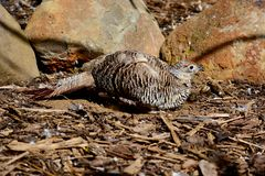 A female Common Pheasant Phasianus colchicus taking a sand bath. stock images