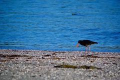 A close-up photo of a variable oystercatcher Charadriiformes in natural environment. Native bird found around much of New Zealan. A close-up photo of a bird; a royalty free stock images