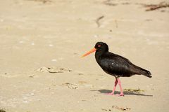 A close-up photo of a variable oystercatcher Charadriiformes in natural environment. Native bird found around much of New Zealan. A close-up photo of a bird; a royalty free stock photos