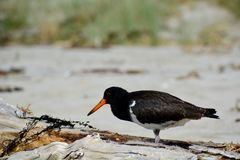 A close-up photo of a variable oystercatcher Charadriiformes in natural environment. Native bird found around much of New Zealan. A close-up photo of a bird; a royalty free stock photo