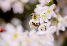 Close-up Photo of Black and Brown Wasp on White 5-petaled Flower Royalty Free Stock Photography