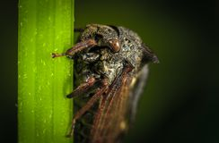 Close Up Photo of Black Cicada on Green Leaf stock photography