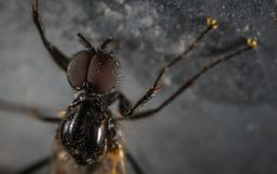 Close Up Photo Black Housefly Stock Images