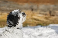 Tibetan terrier puppy sitting on snow and looking up. Close up photo of a black and white dog`s face, wintertime, large copy space Royalty Free Stock Photos